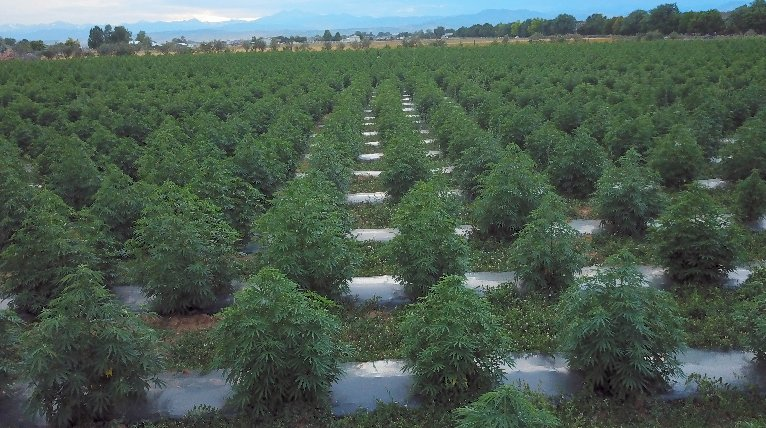 BEYOND Stoner 3x ODC drip irrigation at 6 wks