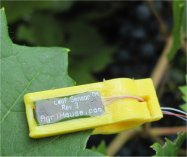 Leaf Sensor Affixed to grapes